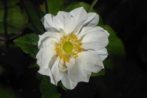 last japanese anemone of year