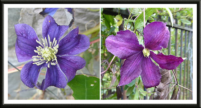 late clematis