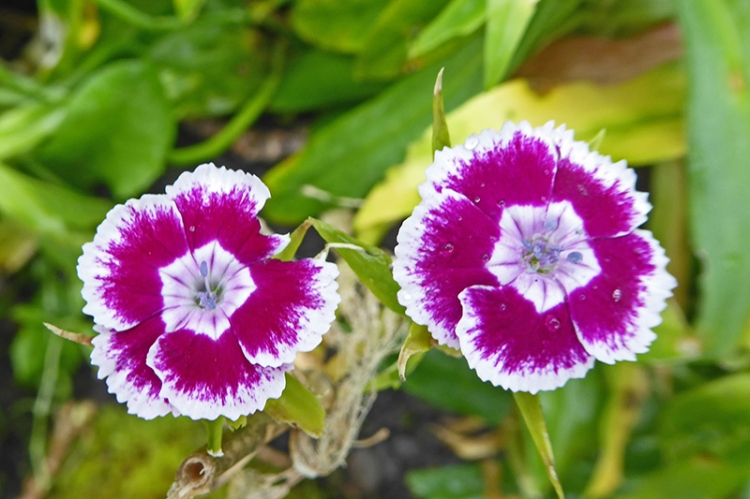 late sweet william
