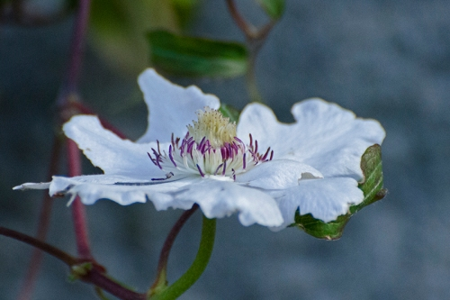 late white clematis