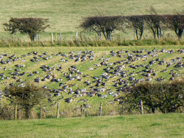 lots of geese in a field