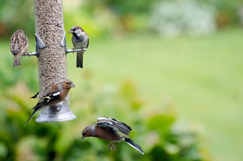 low flying chaffinch