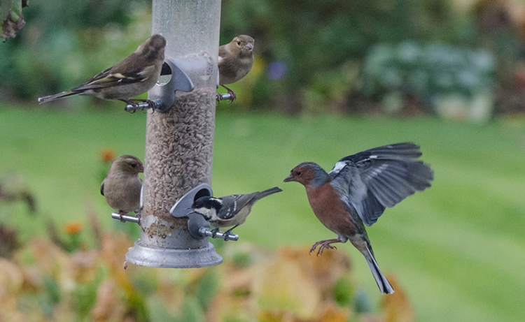 miced feeder with coal tit