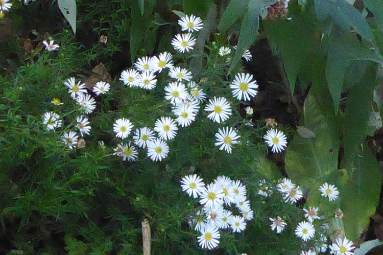 october daisies 29th