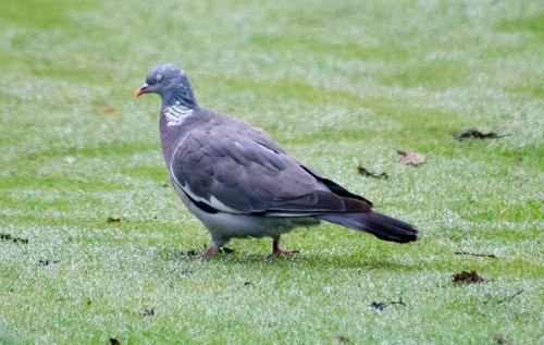 pigeon on wet lawn