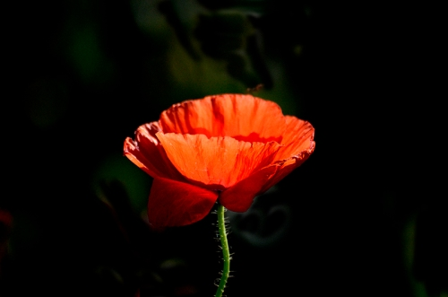 poppy in late sun
