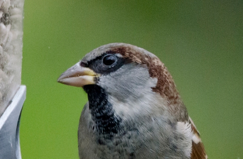 portrait sparrow
