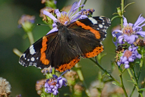 red admiral butterlfy october