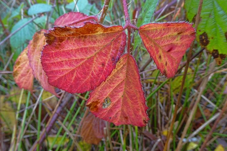 red bramble leaf