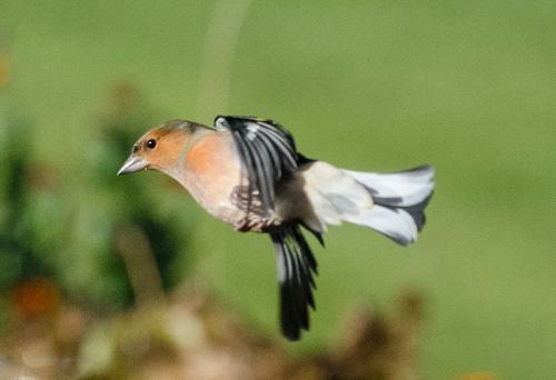 sideways flying chaffinch
