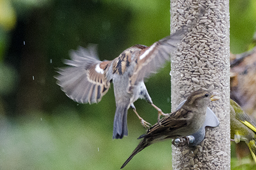 sparrow kicking sparrow