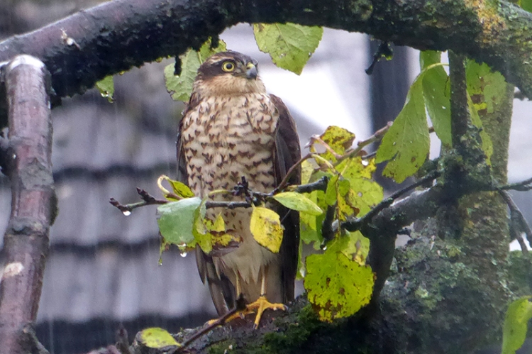 sparrowhawk in plum tree