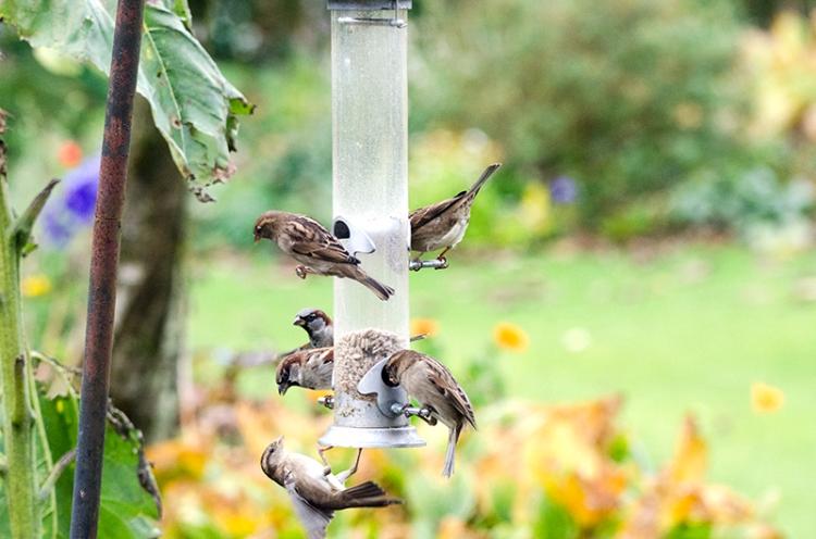 sparrows on feeder