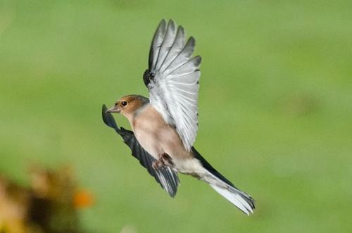 sunny flying chaffinch