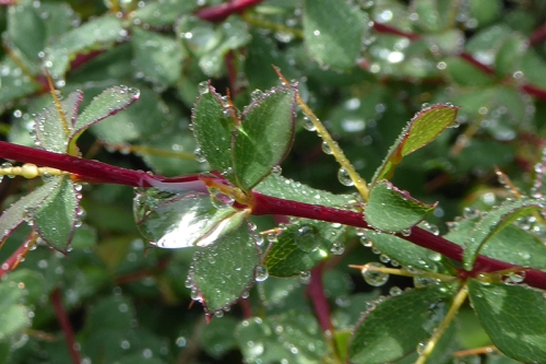 thorn hedge with raindrops