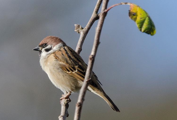 tree sparrow in plum tree