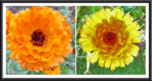 two calendulas