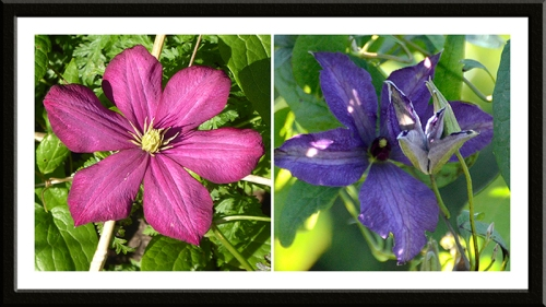 two clematis