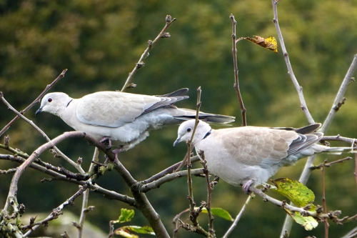 two collared doves