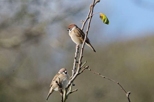 two treee sparrows