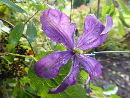 watery clematis