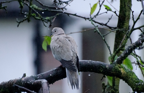 wet dove in tree