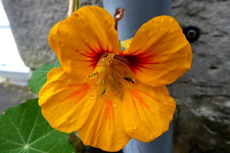 yellow nasturtium oct