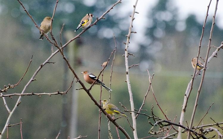 birds in plum tree