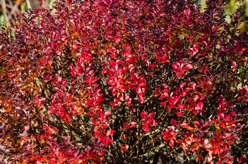 blazing berberis