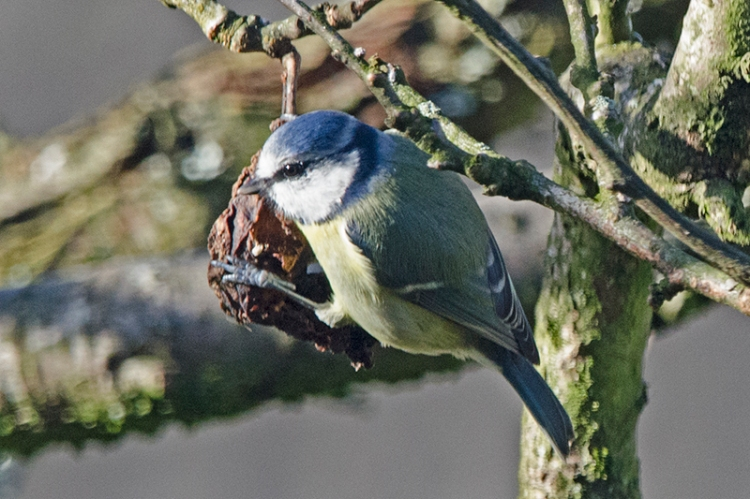 blue tit with old plum
