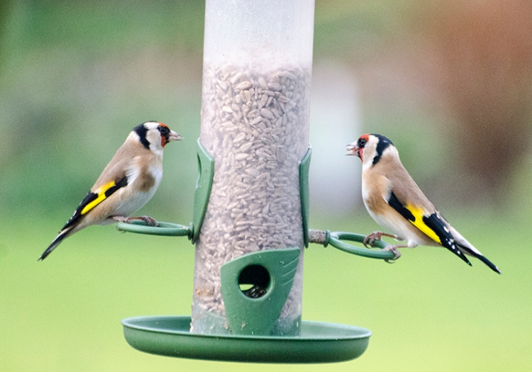 bookend goldfinches