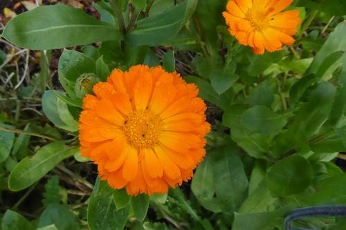 bright calendula Nov