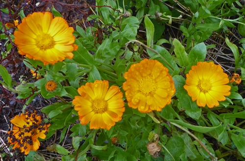 calendulas end of november