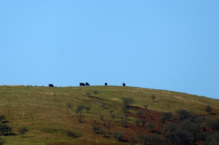 cattle on Castle Hill