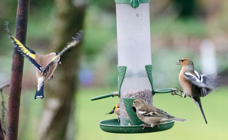 chaffinces staring at goldfinch