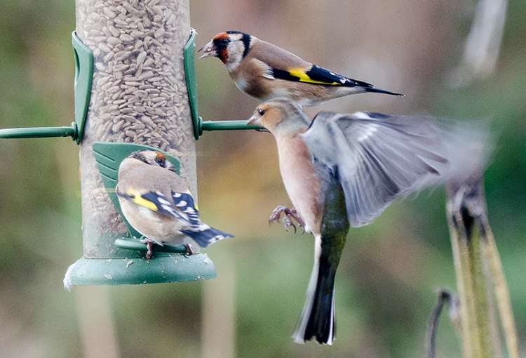 chaffinch and goldfinches