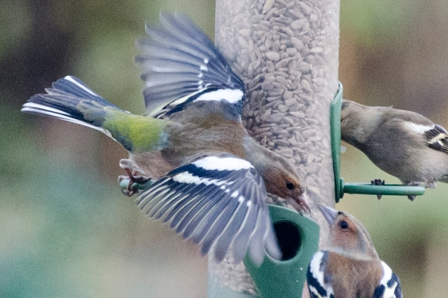 chaffinch head to head