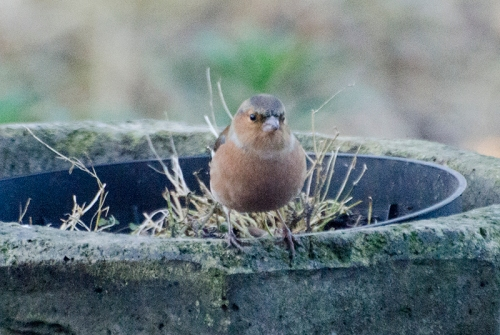 chaffinch on chimney