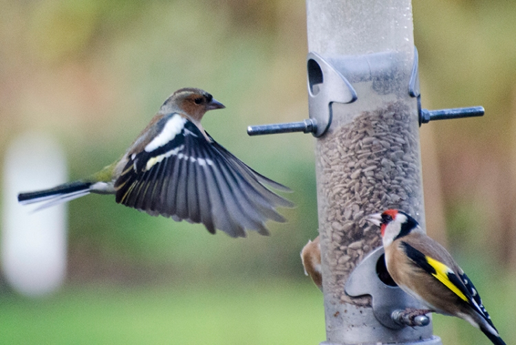 chaffinch pulling on brakes