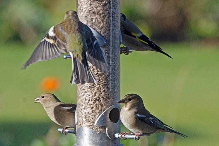 chaffinches on feeder