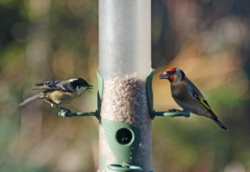 coal tit and goldfinch