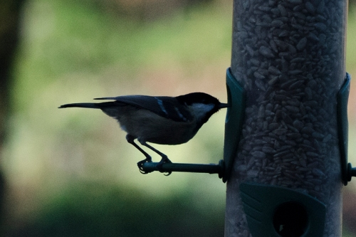coal tit profile straight
