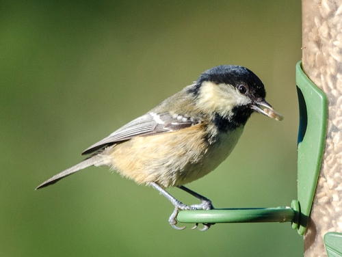 coal tit with seed