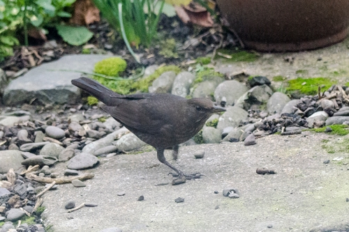 creeping blackbird