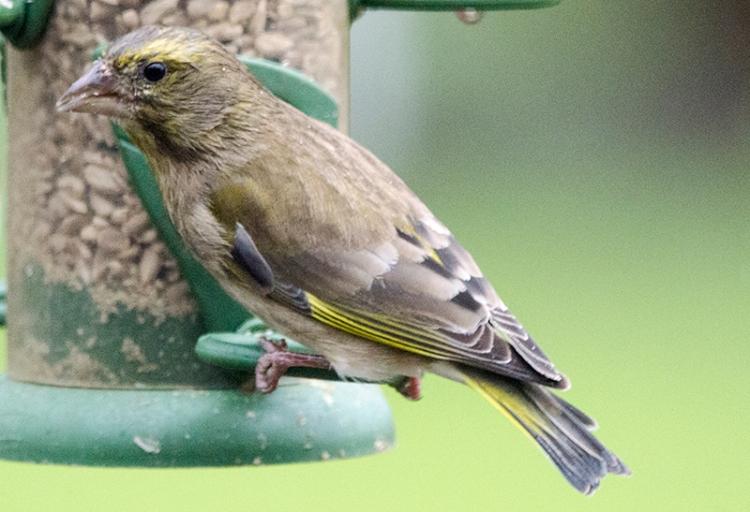 damp greenfinch