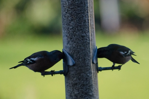 dark birds at feeder