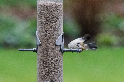 disappearing coal tit