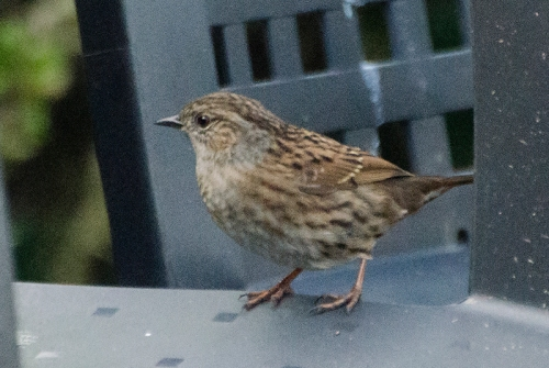 dunnock on chair