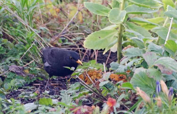 first autumn blackbird