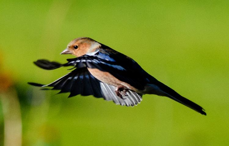 flyinch chaffinch with dark wings